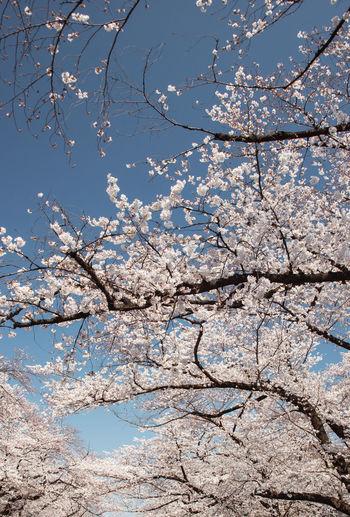 Cherry Blossoms Japan Tokyo,Japan Springtime うきうき 上野公園 春 桜