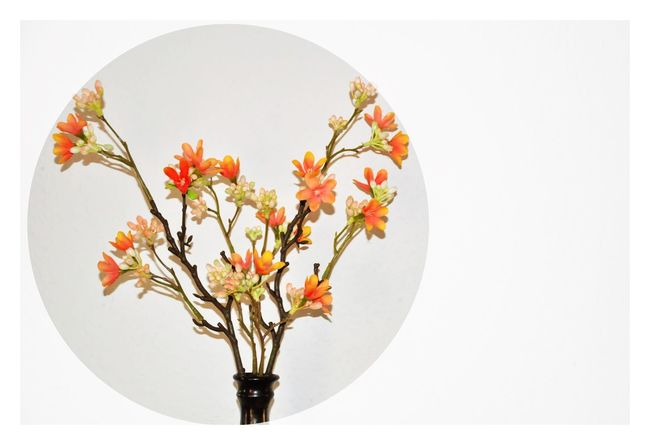 Beauty In Nature Cp Day Flower Fragility Nature No People Vase White Background