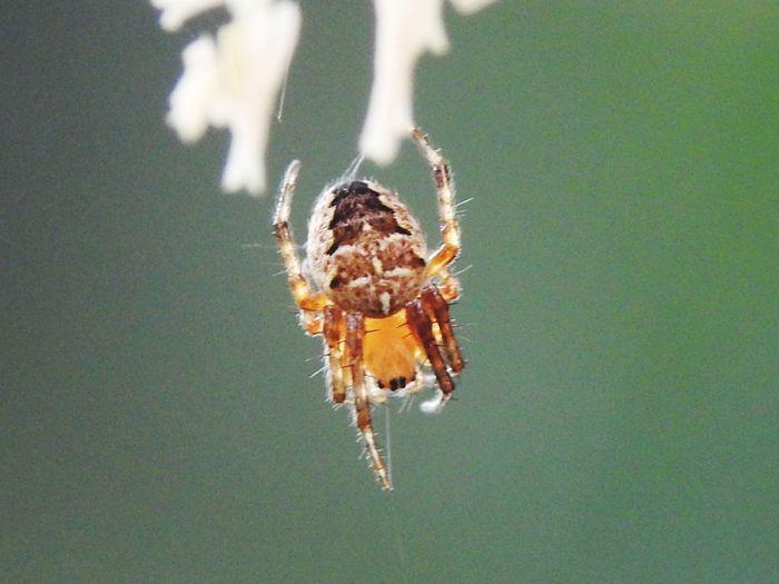Araneus