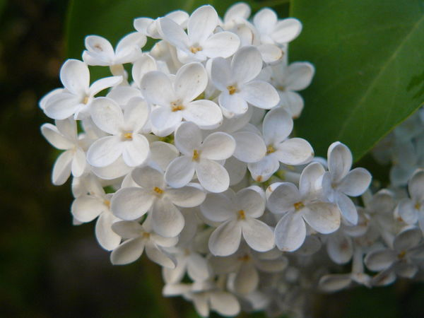 Beauty In Nature Blooming Close-up Day Flower Flower Head Flowers Freshness Growth Leaf Nature No People Outdoors Plant White Color White Flowers White Lilac