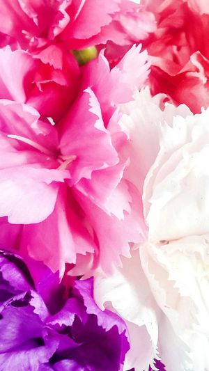 Carnation flowers Stockphoto Backgrounds Photography Carnation Flowers Colorful Tones Hues Freshness EyeSelect Macro Photography Pink Color Flower Colourstudy Textured  Rose - Flower Peony
