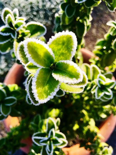 Frost Growth