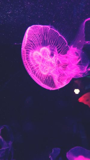 Jellyfish Sea Life Underwater Water Swimming Pink Color Purple No People Floating In Water Sea Nature Beauty In Nature UnderSea Animal Themes Close-up Neon