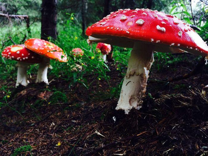 Mushrooms Colorful Danger Amanita Muscaria Nature Wood Life Shining Red