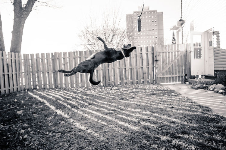 Boo playing fetch in the backyard Action Shot  Backgrounds Backyard Black Lab Blak And White Day Dog Dogs Dogslife Fetch Fetching Labrador Lifestyles Mans Best Fre Mans Best Friend Outdoors Play Puppy Shadow Wall Wallpaper Water Young