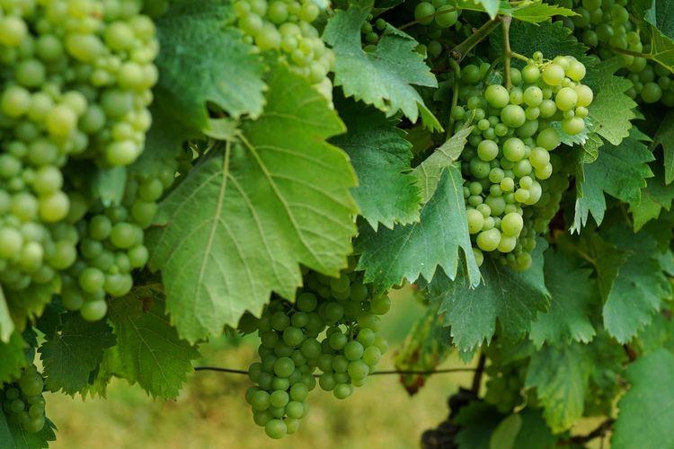 Weinberg Weintrauben Weinblätter Alzey Rheinhessen Alzey Nature Photography Wine Vineyards  Grapes Grapes Nature Photography