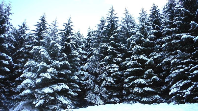 snow Shades Of Winter Share Your Adventure Wonderful Beauty WOW Winter Snow Tree Pine Tree Cold Temperature Nature Pinaceae Day Forest Low Angle View No People Outdoors Beauty In Nature Tranquility Weather Tranquil Scene Scenics Frozen Growth Landscape