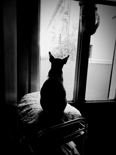 Spock, Milano, 14 Aprile 2016 Cat Cats Devon Rex Devonrex Spock