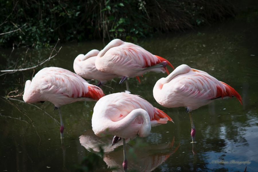 Nice bit of symmetry Flamingo Bird Animals In The Wild Pink Color Animal Themes Lake Water Animal Wildlife No People Nature Outdoors Close-up Beauty In Nature