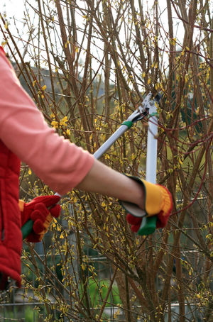 Hands with working gloves cutting the forsythia bushes Cut Cutting Gardener Gardening Plant Work Branch Bush Cutter Day Forsythia Garden Holding Human Body Part Human Hand Leisure Activity Nature One Person Outdoors Protective Glove Prune Shrub Spring Tool Working Gloves