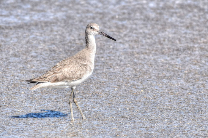 Birds Of EyeEm  Animal Animal Themes Animal Wildlife Animals In The Wild Beach Bird Birds Close-up Day Florida Florida Birds Florida Life Focus On Foreground Full Length Land Nature No People One Animal Outdoors Sand Sand Piper Sandpiper Side View Vertebrate Water Zoology