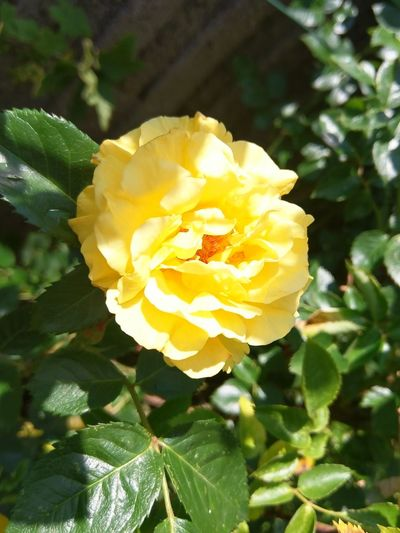 Rosé Yellow
