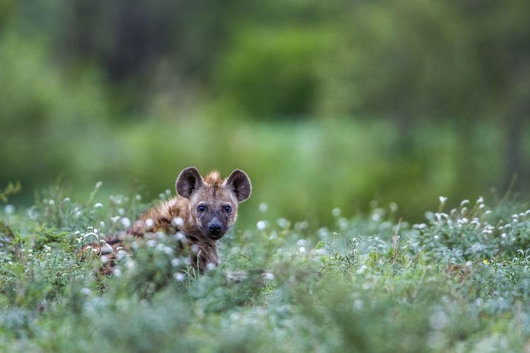 Portrait of hyena sitting on land