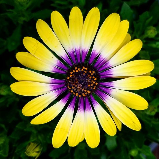 African Daisy Flower Yellow Beauty In Nature Flower Head Nature Purple Petal Close-up African Daisy Daisy Bright Yellow Macro Macro Photography Beauty In Details Just Look Down Flowers Pollen Daylight
