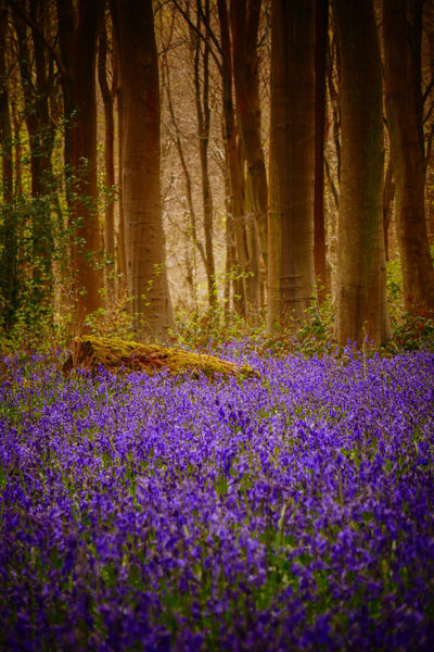 Flower Nature Beauty In Nature Purple Sunset Freshness Growth Scenics Outdoors No People Tree Blue Bells