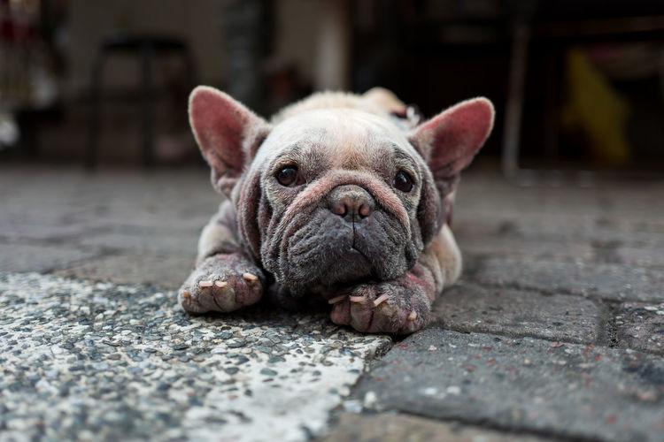 Close-Up Portrait Of Dog Lying On Street