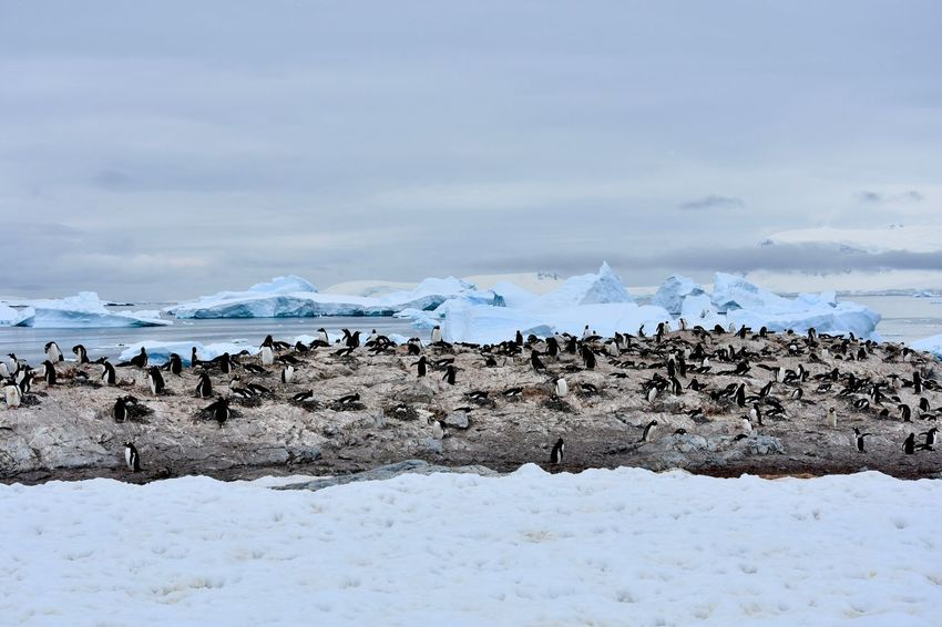 Animals In The Wild Antarctic Antarctic Peninsula Antarctica Chinstrap Penguin Frozen Gentoo Penguin Gentoo Penguins Glacier Ice Iceberg Icebergs Penguin Penguin Colony Penguins Snow Winter Landscape Winter Wonderland