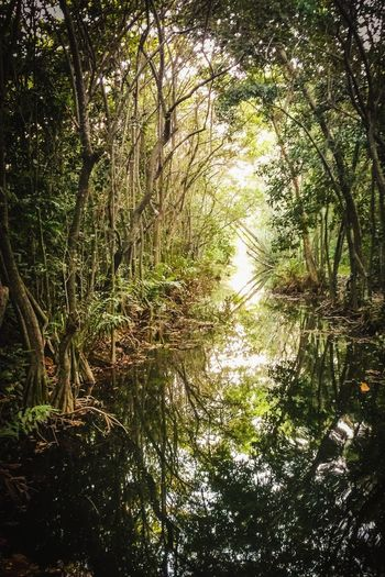 Caribbean Life Puerto Rico Tropical Paradise Tourist Attraction  Tourist Destination Reflection Perspectives on Nature Tree Water Forest Lake Reflection Sky Leaves Branch Growing