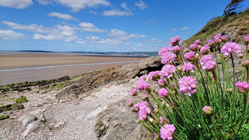 Thrift flowers at Arnside Arnside Beach Beachside Flower Lancashire UK Landscape Pink Pink Color Rock Flowers Sky Thrift