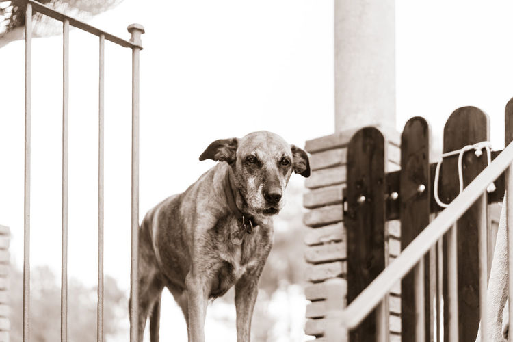 No People Day Outdoors Domestic Pets Domestic Animals Mammal Vertebrate One Animal Dog Canine Portrait Looking At Camera Pet Portraits Dogslife Animal Themes Animal Fence Barrier Boundary Railing Standing Animal Pen Herbivorous Blackandwhite
