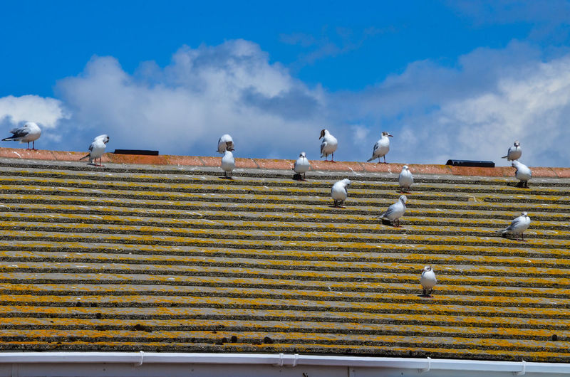 Flock of seagull birds on rooftop on the shore against sky
