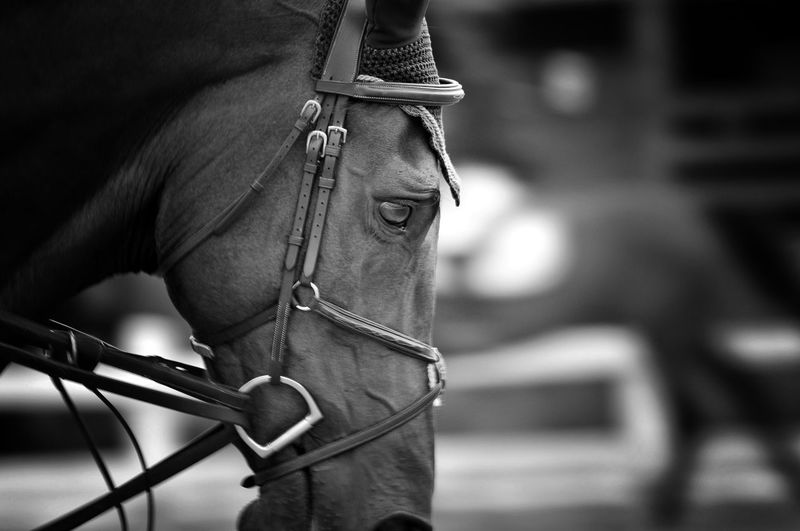 Close-up of horse with bridle