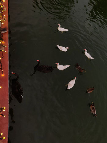 Ducklings 🦆 Bird Flamingo Water Flying Aerial View Lake Full Length Black Swan Animal Neck Swan Swimming Animal Swimming Freshwater Bird Floating In Water Mute Swan Water Bird White Swan Duck