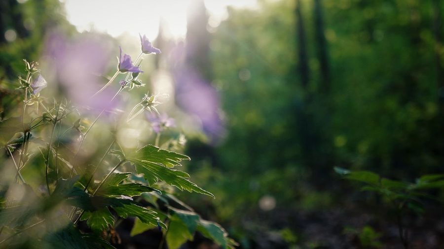 Copy Space Plant Growth Beauty In Nature Vulnerability  Flowering Plant Flower Fragility Freshness Nature Day Purple Selective Focus Close-up Green Color No People Land Tranquility Outdoors Sunlight Plant Part Forest Woods WoodLand Tranquil Scene Growing Wildflower Blossom In Bloom Lavender Colored