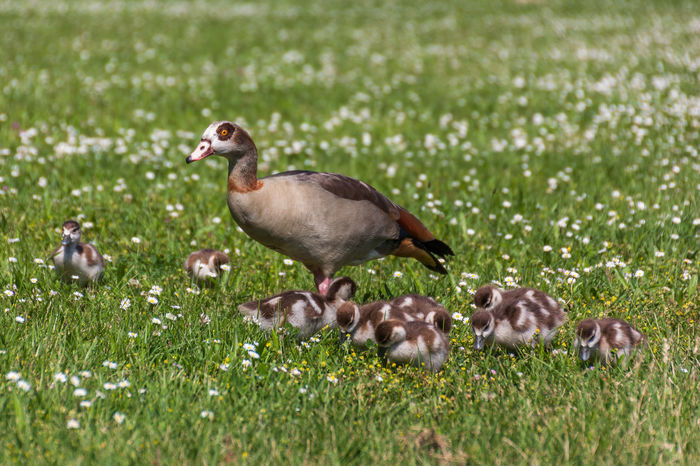 Alopochen Aegyptiaca Nilgans Nilgans-Familie Animal Animal Family Animal Themes Animal Wildlife Animals Animals In The Wild Bird Birds Egyptian Goose Field Goose Grass Green Color Group Of Animals Land Nature No People Water Bird Young Animal