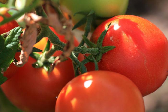 Beauty In Nature Ernährung Essen Garten Gemüse Nature Organic Plant Red Ripe Tomaten Tomatenpflanze Tomatenrispe Tomato Urban Gardening
