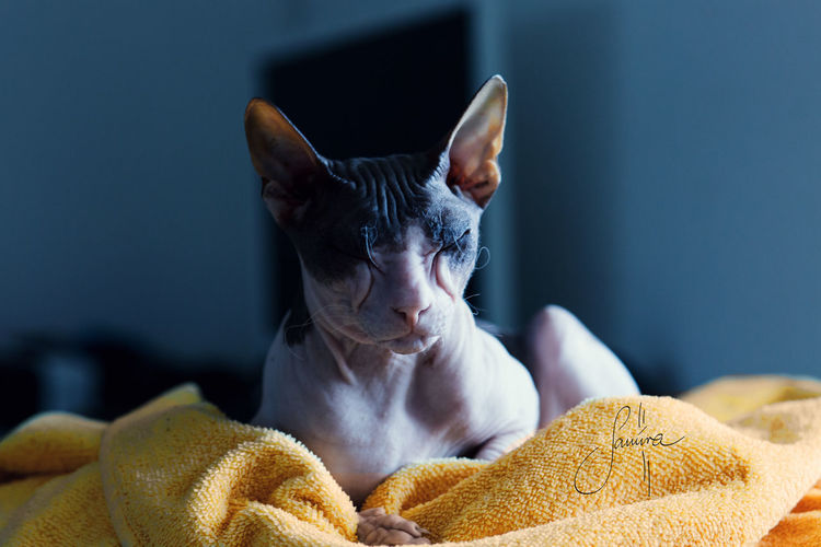 LederlappenCatoftheday Contrasts domestic cat Focus On Foreground Indoors  Naked Cat No People One Animal Relaxation Sphynx Cat Strong Colors Towel Yellow