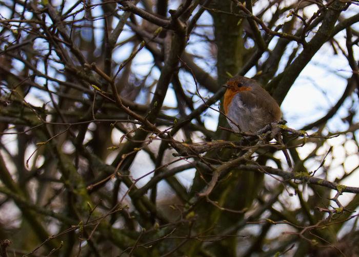 A little Robin