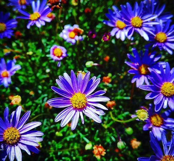 Daisies Purple 9Vaga_ColorPurple9 Flowersandmacro Flowers Af_floral➡🌼flowers Nature Pocket_colors Rainbow Wall Tv_simplicity Simplicity Paradise_minimal Nothingisordinary Minimal_mood Minimal_int Pocket_minimal Minimalgram 9vaga_dailytheme9 Tvc_uc_purple 9Vaga_ColorPurple9 Andthepurplecrayon_ffff Purplecrayon_orange Purplecrayon_green Momswithcameras Mwc_w99