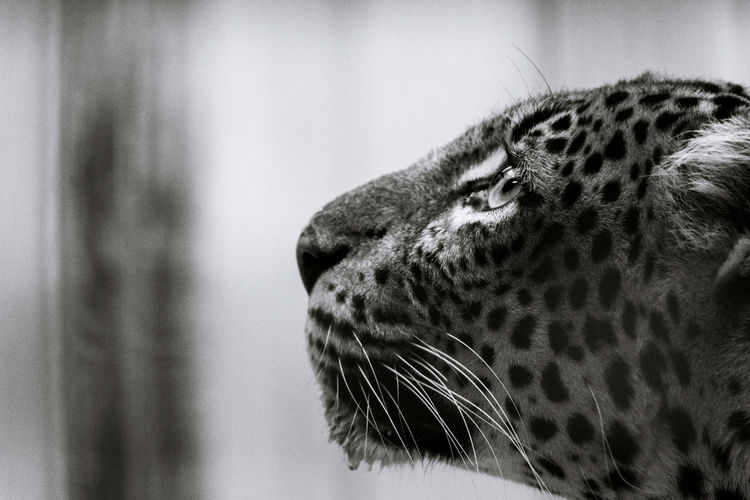 What a beauty...// Animal Eye Animal Head  Animal Themes Animals In Captivity Black & White Careful Cat Close-up Copy Space Day Feline Fur Indoors  Leopard Lookingup Mammal Nature No People One Animal Side View Spotted Spotting Watching