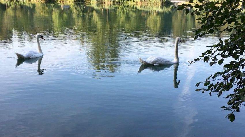 Schwäne Schwan  Schwanenfamilie Swans ❤ Swantastic Swans Swan