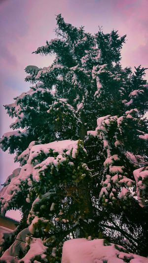 Nature Outdoors No People Tree Tranquility Low Angle View Beauty In Nature Plant Day Winter Close-up Freshness Abstract TreePorn Beautiful Day Winter Snow ❄ Snowing View Beauty In Nature Winter Time Winter 2017 Snow ❄ Christmas Tree Snow Covered Power In Nature Cold Temperature