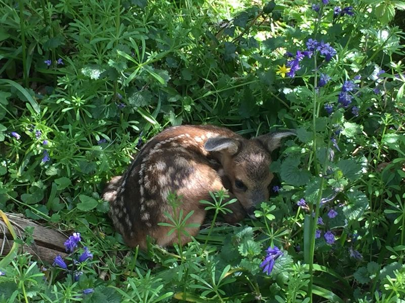 Favorite Picture Grassflowers Blue Bells Naturelover Non-urban Scene Outdoors Forest Cutenessoverload Cute Cute Animals WoodLand Tranquil Scene Sleepytime Beauty In Nature Nature Fawn Bambi Deer Idyllic Natures Diversities