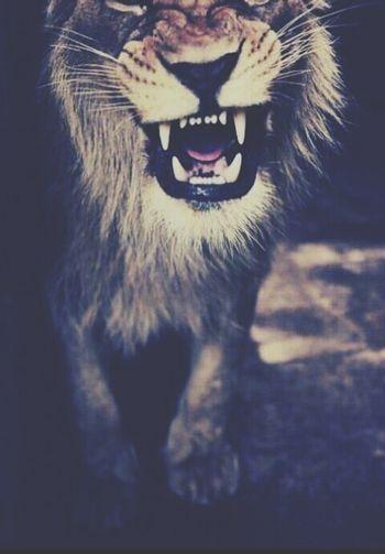 Lion. Amazing Animal Fantastic