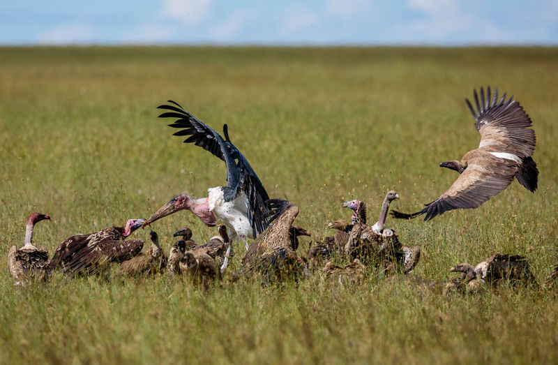 Close-up of marabou stork stealing food from vultues