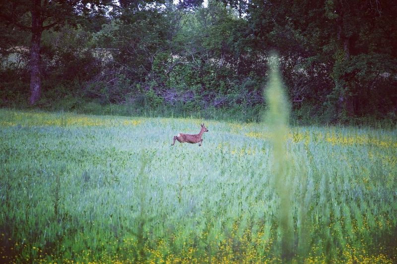Jumping Jumping Deer Jump Deer Vertebrate Animal Themes No People Animal Outdoors One Animal Beauty In Nature Green Color Motion Day Grass