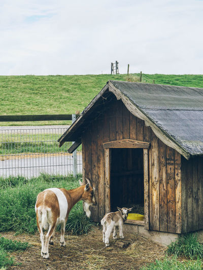 Goats standing outside wooden barn
