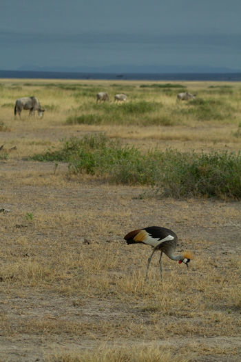 Grey crowned crane bird eating bugs in the landscape