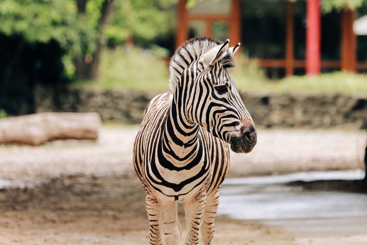 Zebra standing in zoo