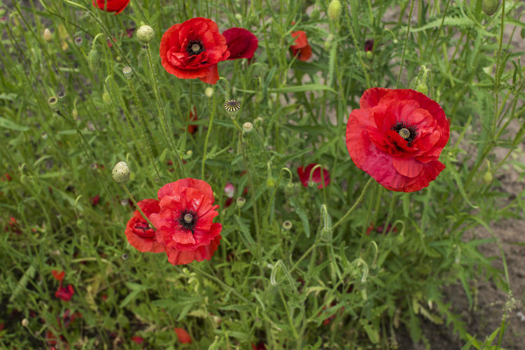 Red poppies in green grass field Background Beauty Bloom Blooming Bright Bud Countryside Field Flora Flower Garden Landscape Meadow Opium Opium Poppies Papaver Rhoeas Plant Poppies  Poppy Red Rural Springtime Blossoms Summer Tranquil Wildlife Photography