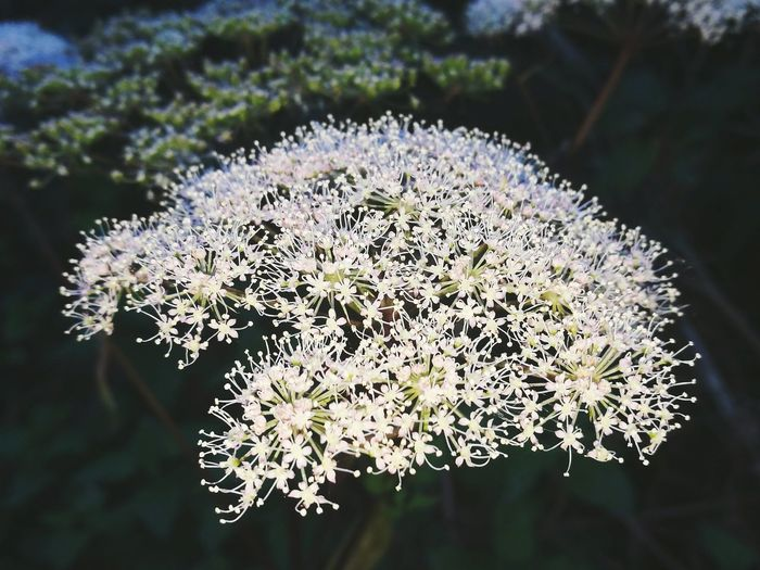 Flower Freshness Close-up Plant Beauty In Nature Focus On Foreground Softness Plant Life Nature Flower Head Botany Outdoors Phonecamera Ireland 🍀