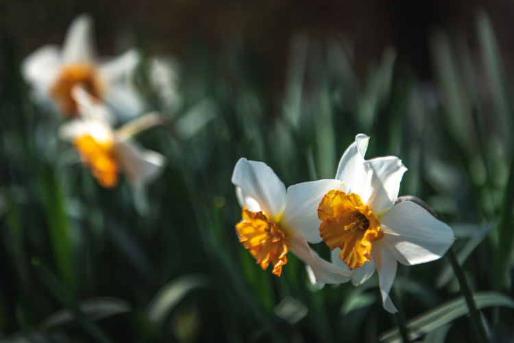 Daffodil Copyspace Copy Space Green Orange Color White Daffodils Daffodil Growth Inflorescence Flower Head Nature Close-up Beauty In Nature Petal Fragility Vulnerability  Freshness Flowering Plant Plant Flower Vulnerability  Pollen White Color Day No People Yellow Focus On Foreground Selective Focus Outdoors