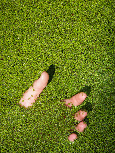Drowning Man Pond Common Duckweed Day Dead Dead Man Dead Man's Hand Directly Above Drown Drowned Drowning Man Duckweed Floating Floating On Water Green Color Hand High Angle View Human Body Part Nature Outdoors People Plant Suicide Water