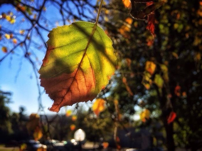 Focus On Foreground Leaf Vein Beauty In Nature Leaves Autumn It's Fall Fall Beauty Fall Colors Fall Collection Leaf 🍂 CarolSharkeyPhotography Maine