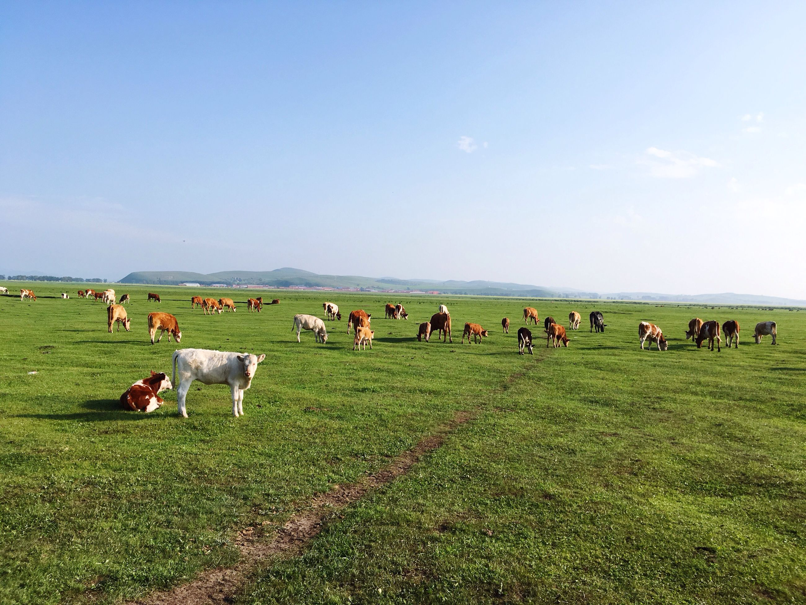 domestic animals, livestock, grass, field, landscape, large group of people, mammal, full length, green color, horizon over land, grazing, walking, pasture, green, blue, sky, grassy, rural scene, tranquil scene, domestic cattle, nature, tranquility, farm animal, casual clothing, day, solitude, zoology