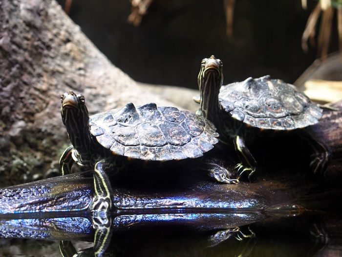 Animals Posing Pair Queue Same  Turtle Turtles Two Two Animals Two Is Better Than One Two Of A Kind Water Zoology Water Turtle Rocks EyeEm Selects